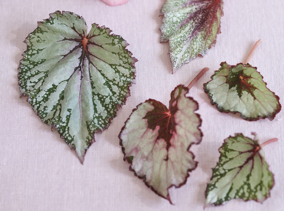 Foliage Begonia Leaves