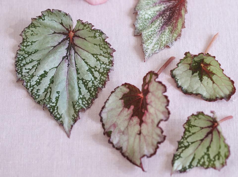 Foliage Begonia Leaves