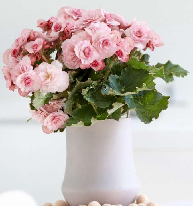 Pink flowering Begonia
