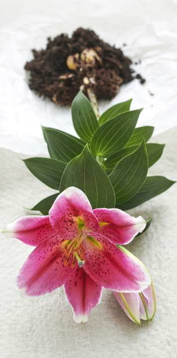 Houseplant of the month: Lily