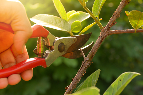 Pruning early flowering shrubs in April