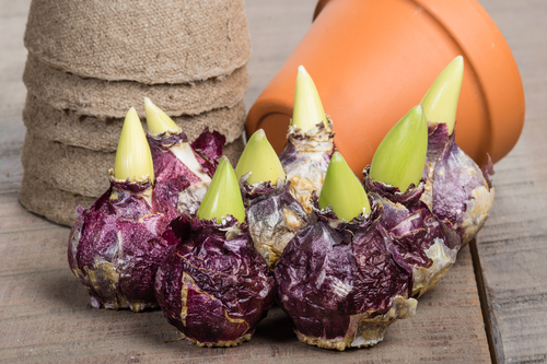 Hyacint bollen