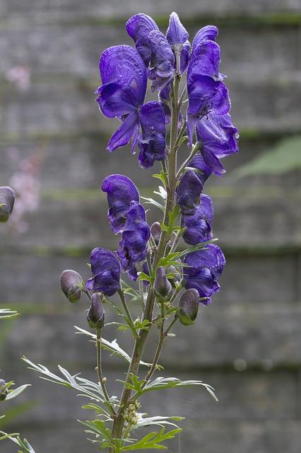 Monnikskap (Aconitum)